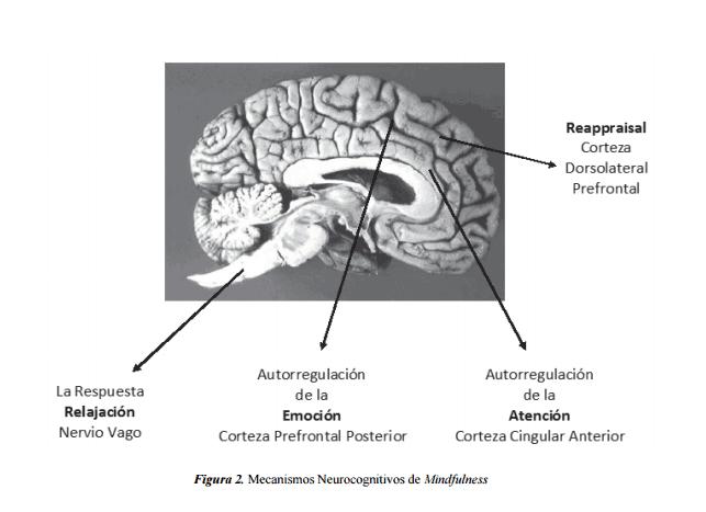 mecanismos-neurocognitivos-de-la-terapia-basada-en-mindfulness-Manolete-Moscoso